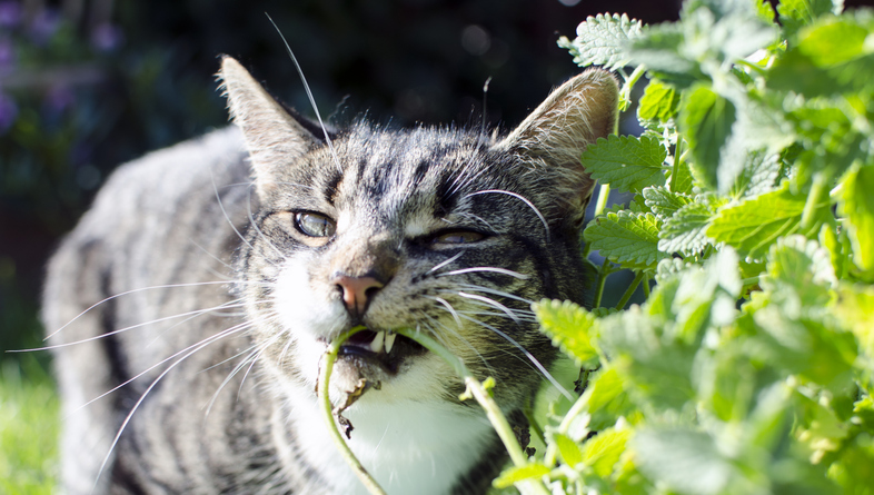 A gray cat rubbing its face against an outdoor catnip plant